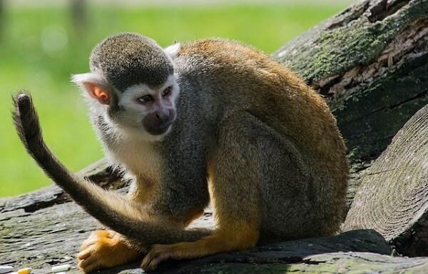 Macaco-aranha: características, habitat, reprodução, alimentação 1