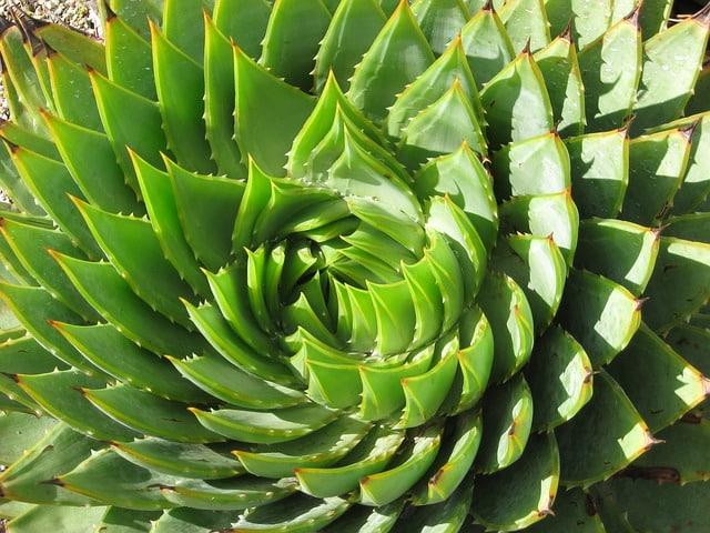 Crassulaceae: características, espécies, cuidados, doenças 5