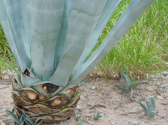 Tequilana de agave: características, habitat, usos, cultivo 5