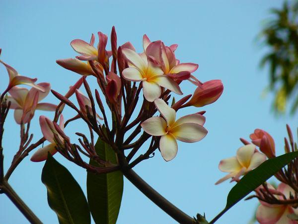 A flora da costa peruana: espécies e conservação 4