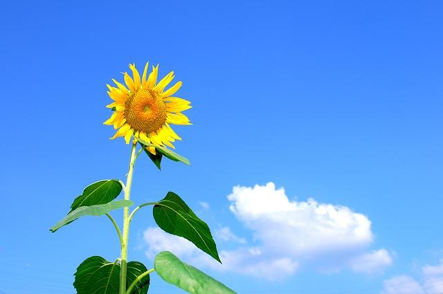 Asteraceae: características, habitat, espécies e usos 4