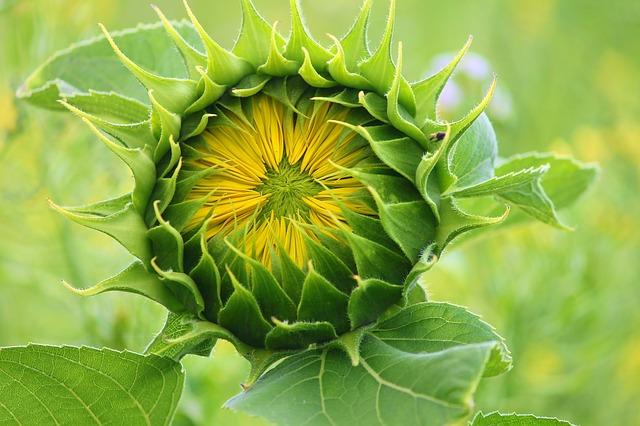 Asteraceae: características, habitat, espécies e usos 2