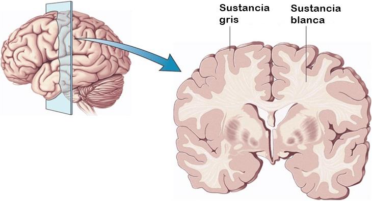 Matéria cinzenta: função, histologia, localização 3