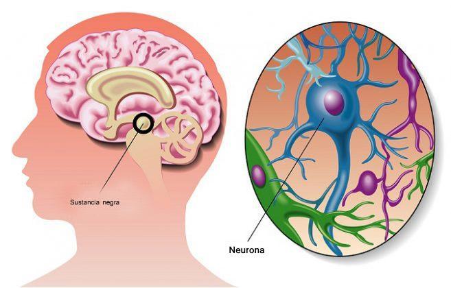 Formação reticular: funções, anatomia e doenças 5