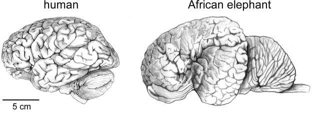 Quanto pesa o cérebro de um adulto? 2