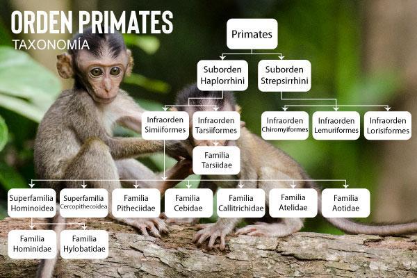 Primatas: características, evolução, alimentação, reprodução 3