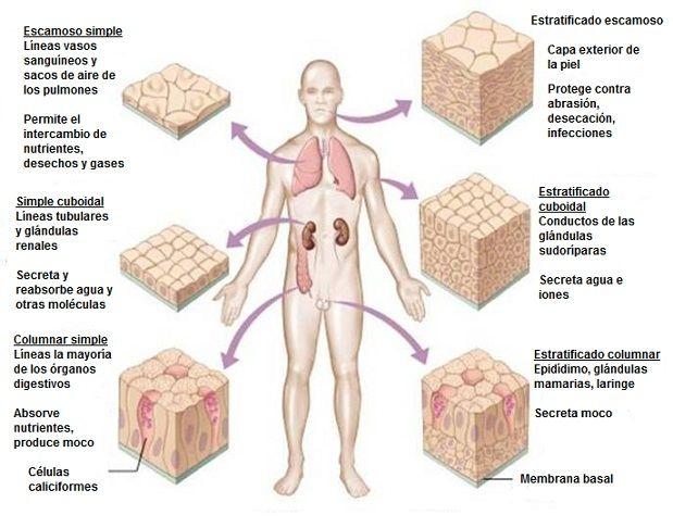 Tecido epitelial do revestimento: definição e tipos 2
