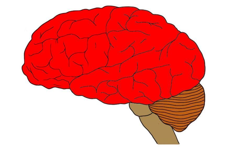 Telencéfalo: características, partes e funções 1