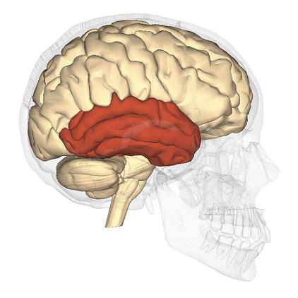 Lobo temporal: características, anatomia e funções 2