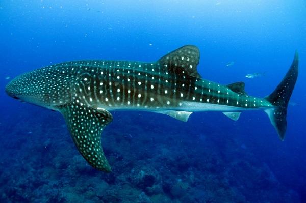 Tubarão-baleia: características, habitat, comida, comportamento 1