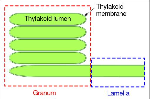 Tilacoides: características, estrutura e funções 2