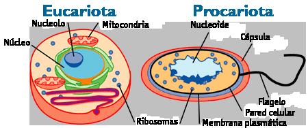 Tipos de células: Procariontes e eucariotos (com imagens) 1