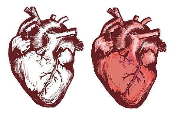 Os 3 tipos de corações dos seres vivos 1