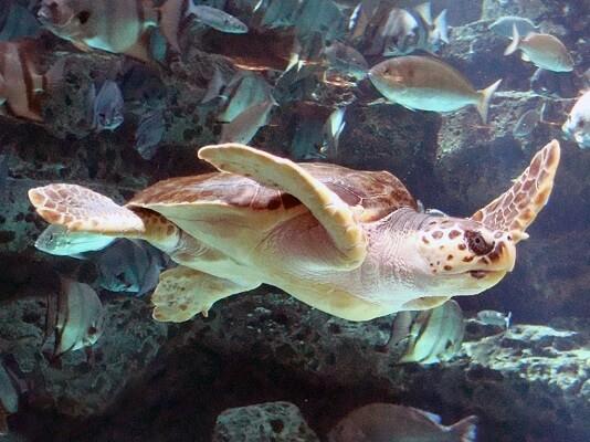 Ciclo de vida da tartaruga marinha para crianças (com imagem) 3