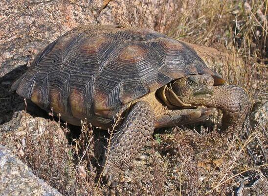 Tartaruga do Deserto: características, habitat, reprodução 1