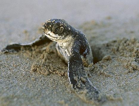Ciclo de vida da tartaruga marinha para crianças (com imagem) 2