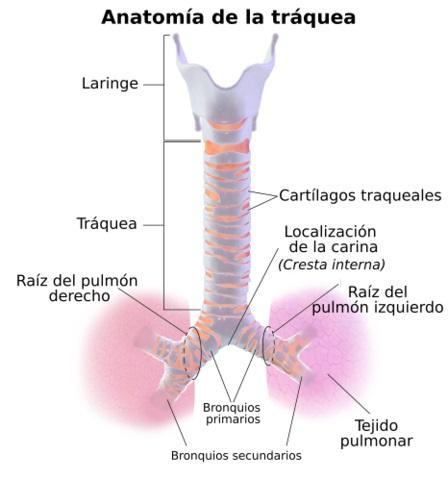 Sistema respiratório: funções, partes, funcionamento 2