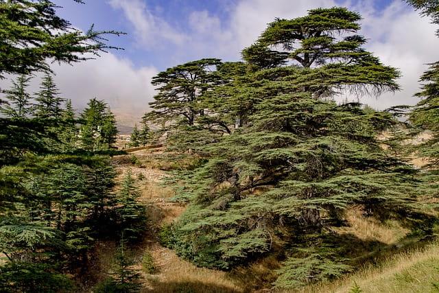 Cedros: características, habitat, espécies, usos e doenças 2