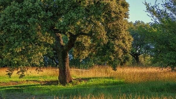 Quercus rugosa: características, habitat, reprodução e usos 1