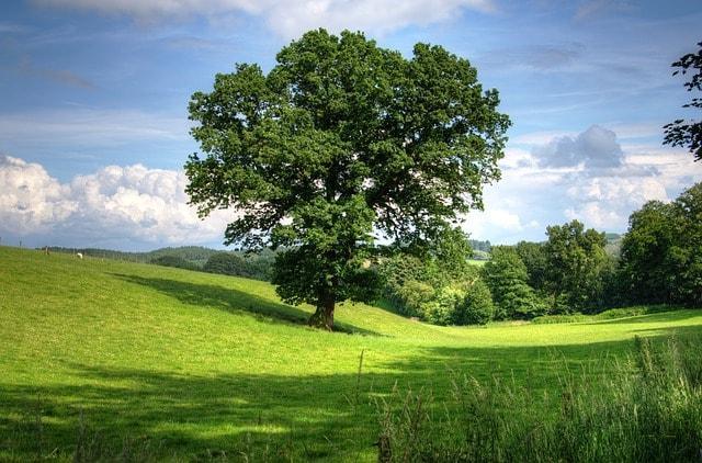 Encinos ou carvalhos (gênero Quercus): características, usos, espécies 1