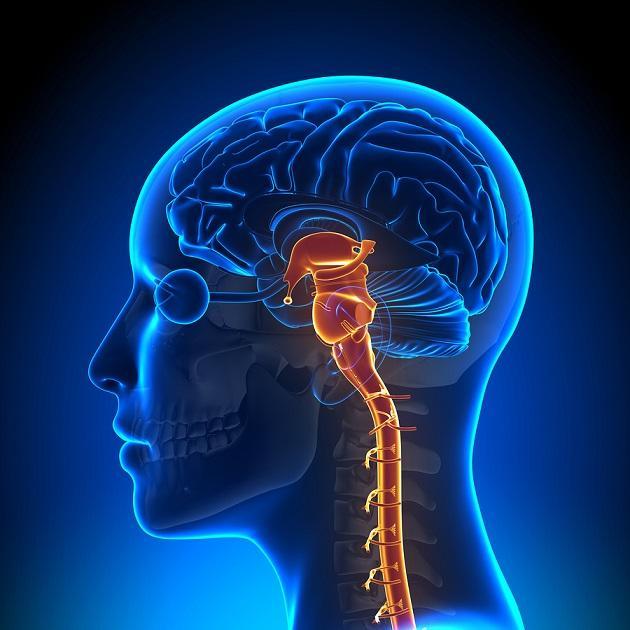 Tronco cerebral: funções, partes e anatomia 1