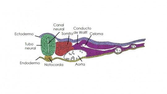 Tubo neural: o que é, como se forma e doenças associadas 1