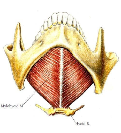 Músculo Milo-hióideo: Origem e Inserção e Funções 1