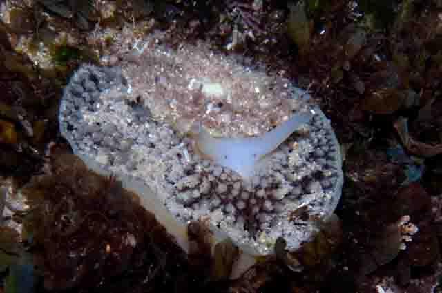 Os 27 animais marinheiros invertebrados mais incríveis 22