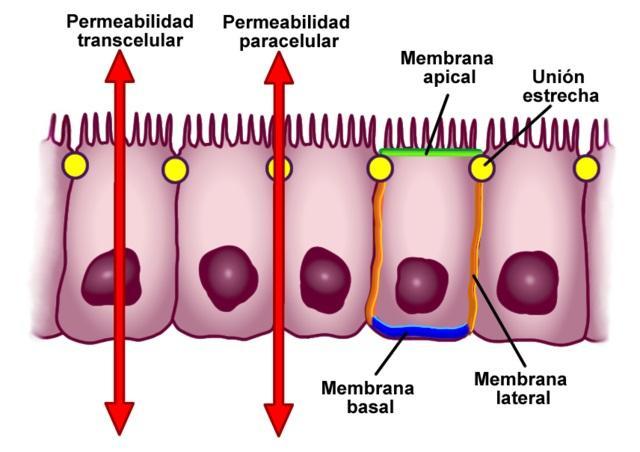 Junções celulares: tipos e suas características 2