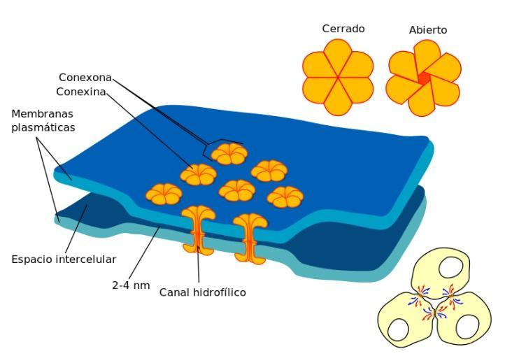 Junções celulares: tipos e suas características 3