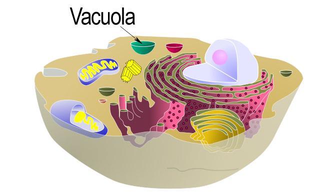 Organelas celulares em células animais e vegetais: características, funções 12
