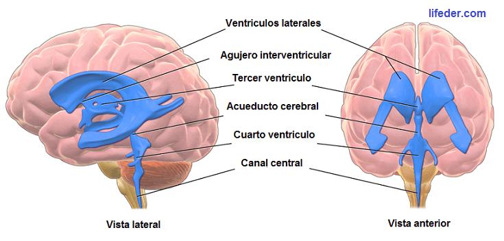 Ventrículos cerebrais: anatomia, funções e doenças 1