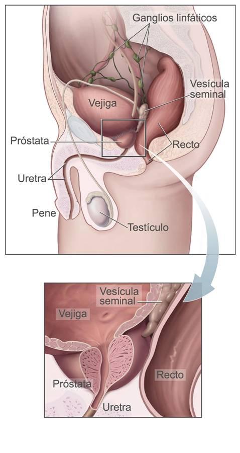 Vesícula seminal: características, funções, histologia 1