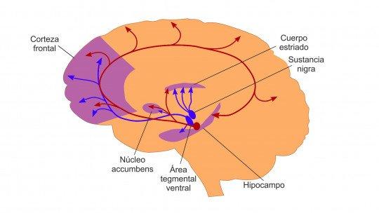Via mesolímbica (cérebro): anatomia e funções 1