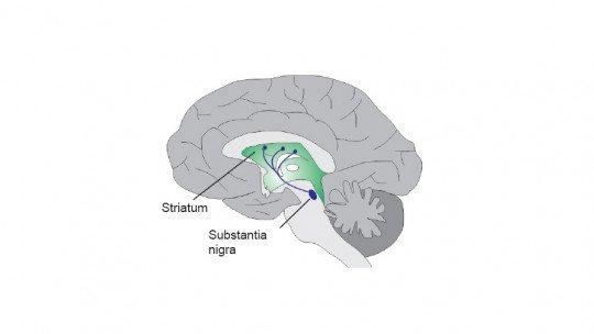 Via nigrostriada do cérebro: estruturas e funções 1