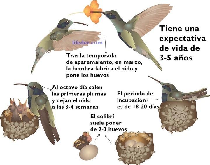 Ciclo de vida do beija-flor: estágios e características (imagens) 1