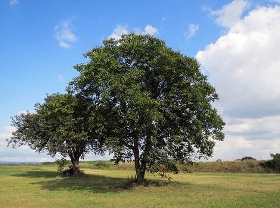Noz: características, habitat, usos, cultivo 1