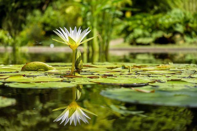 Plantas aquáticas: características, classificação e espécies 1