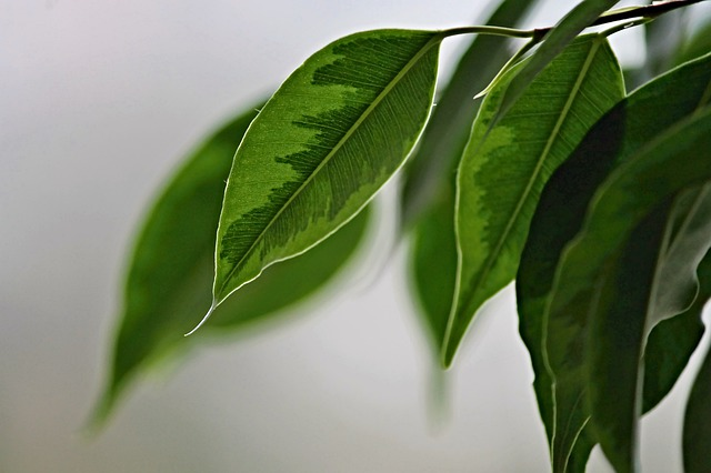 Ficus benjamina: características, reprodução, cuidados 5