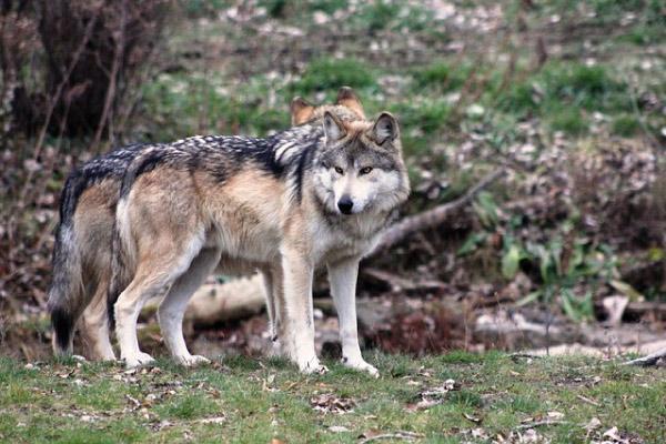 Lobo mexicano: características, reprodução, comida 1