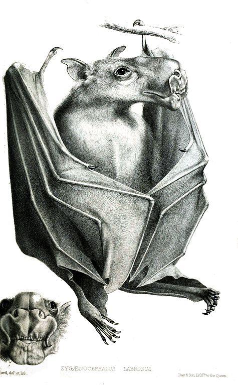 Morcego-martelo: características, habitat, reprodução, alimentação