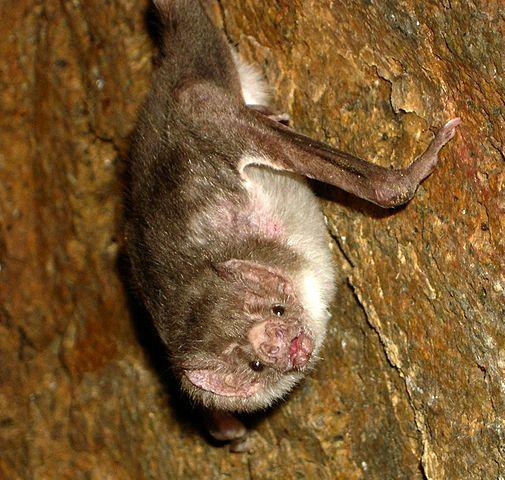 Morcego-vampiro: características, alimentação, reprodução, comportamento