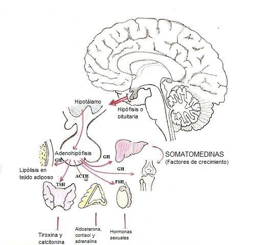Hormônio do crescimento (somatotropina): estrutura, funções