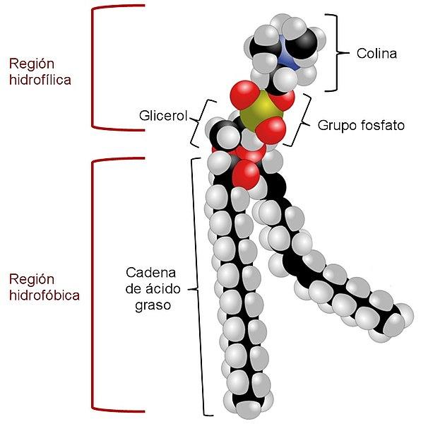 Fosfatidilcolina: síntese, estrutura, funções, propriedades