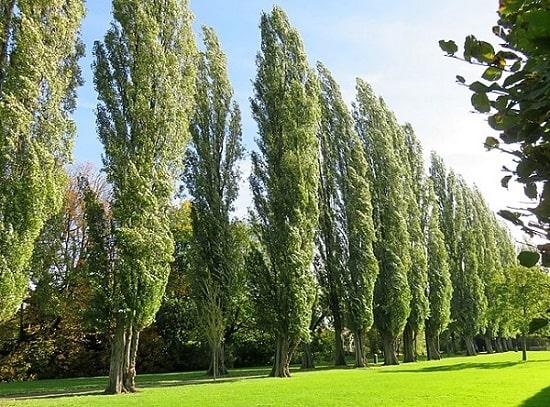 Populus: características, habitat, espécies, cultivo