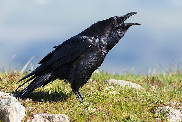Corvus corax: características, habitat, reprodução, alimentação