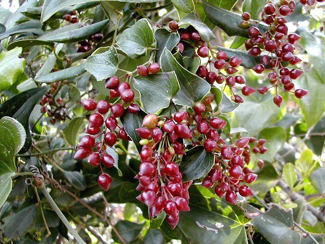 Smilax aspera: características, habitat, benefícios, cultivo, cuidados