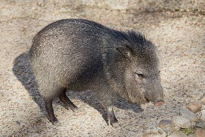 Queixada (Pecari tajacu): características, habitat, reprodução, alimentação