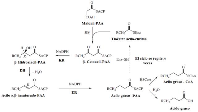 Síntese de ácidos graxos: onde ocorre, enzimas, estágios e reações 9