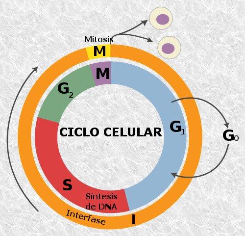 Fase G1 (ciclo celular): descrição e importância